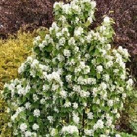 Amelanchier alnifolia Obelisk (muchovník)