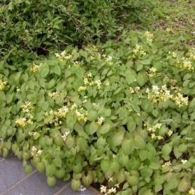 Epimedium versicolor Sulphureum (škornice pestrobarevná)