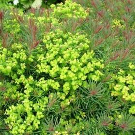 Euphorbia cyparissias Fens Ruby (pryšec chvojka)