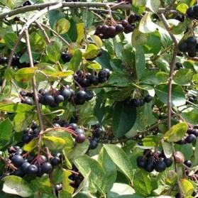 Aronia prunifolia Viking (černý jeřáb)