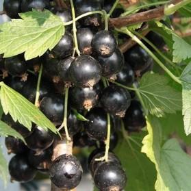 Ribes nigrum Tiben (černý rybíz)