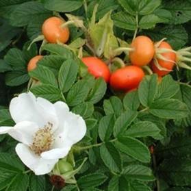 Rosa rugosa Alba (růže svrasklá)