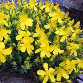 Hypericum polyphyllum Grandiflorum (třezalka malolistá)
