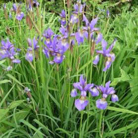 Iris sibirica (kosatec sibiřský)