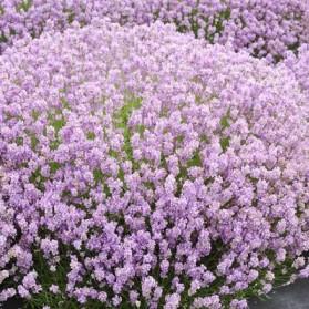 Lavandula angustifolia Rosea (levandule)