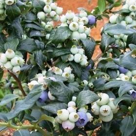 Vaccinium corymbosum Hortblue Petite (kanadská borůvka)