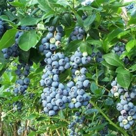 Vaccinium corymbosum Jersey (kanadská borůvka)