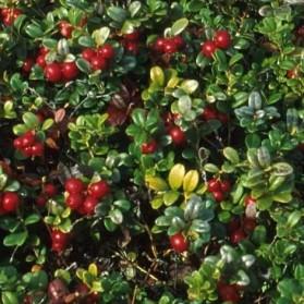 Vaccinium vitis-idaea Koralle (brusnice brusinka)