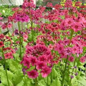 Primula japonica Millers Crimson (prvosenka japonská)
