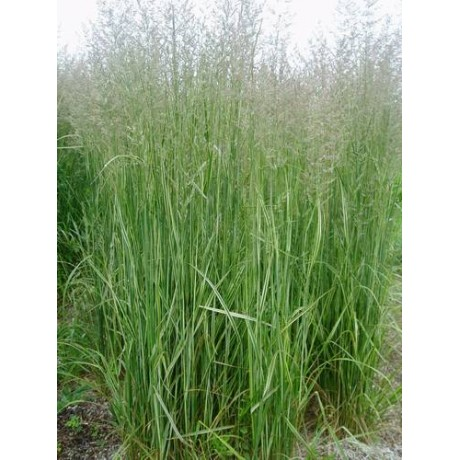 Calamagrostis acutiflora Overdam (třtina)