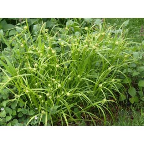 Carex grayi (ostřice Grayova)