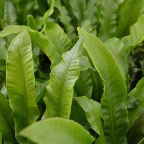 Phyllitis scolopendrium (jelení jazyk)