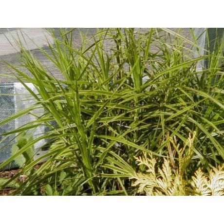 Carex muskingumensis Oehme (ostřice muskingumská)