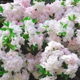 Azalea japonica Feenkiessen (japonská azalka)