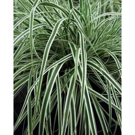 Carex oshimensis Everest (ostřice)