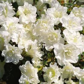 Azalea japonica Schneeperle (japonská azalka)