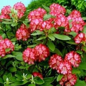 Rhododendron Ann Lindsay (pěnišník velkokvětý)