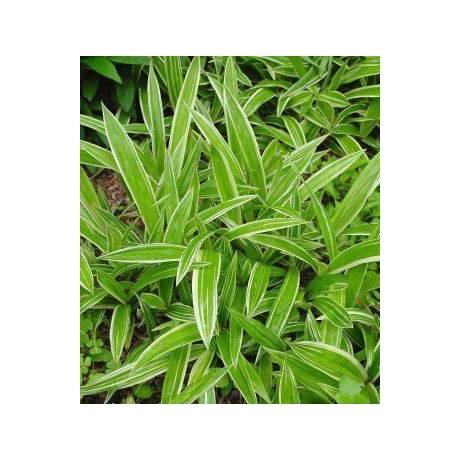 Carex siderosticha Variegata (ostřice)