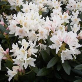 Rhododendron Cunningham White (pěnišník velkokvětý)