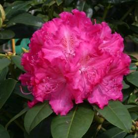 Rhododendron Germania (pěnišník velkokvětý)