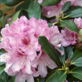 Rhododendron Cheer (pěnišník velkokvětý)