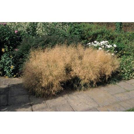 Deschampsia caespitosa Goldtau (metlice trsnatá)