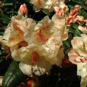 Rhododendron Viscy (pěnišník velkokvětý)
