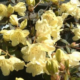 Rhododendron Wren (zakrslý pěnišník)