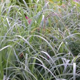 Carex flacca Buis (ostřice chabá)