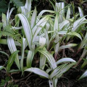 Carex siderosticha Shiro (ostřice)
