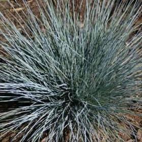 Festuca glauca Auslese (kostřava sivá)