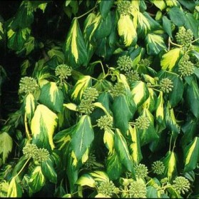 Hedera colchica Sulphur Heart (břečťan kavkazský)