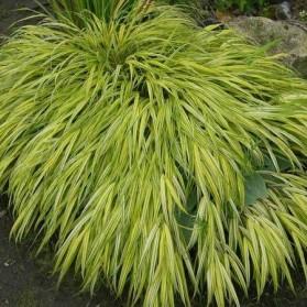 Hakonechloa macra Aureola (rákosovka japonská)