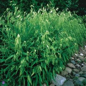 Chasmanthium latifolium (uniola)