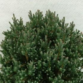 Chamaecyparis thyoides Blue Rock (cypřišek zeravovitý)