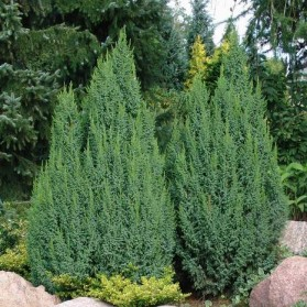 Juniperus pingii Loderi (jalovec stěsnaný)