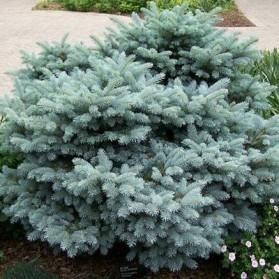 Picea pungens Glauca Globosa (smrk pichlavý)