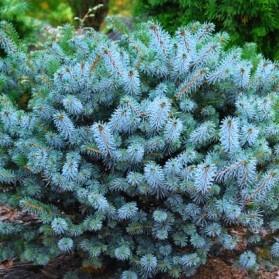 Picea sitchensis Silber Zwerg (smrk sitka)