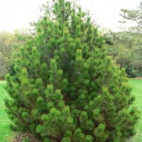 Pinus leucodermis Compact Gem (borovice bělokorá)