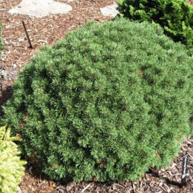 Pinus mugo Minimops (borovice kleč)