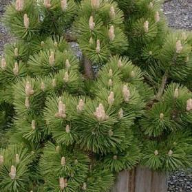 Pinus nigra Helga (borovice černá)
