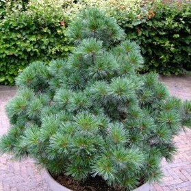 Pinus strobus Macopin (borovice vejmutovka)