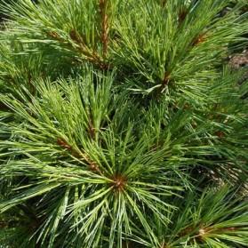 Pinus strobus Ontario (borovice vejmutovka)
