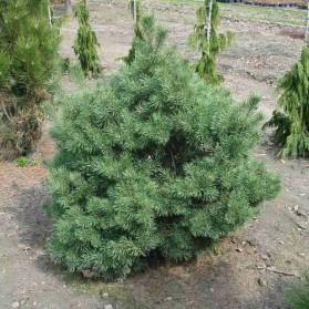 Pinus sylvestris Compressa (borovice lesní)