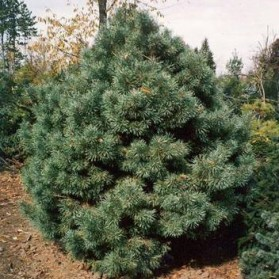 Pinus sylvestris Watereri (borovice lesní)