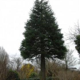Sequoiadendron giganteum (sekvojovec obrovský)