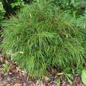 Thuja plicata Whipcord (zerav obrovský)