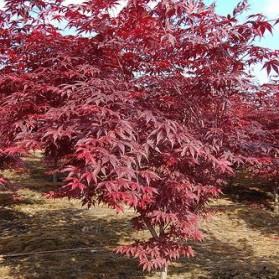 Acer palmatum Atropurpureum (javor dlanitolistý)