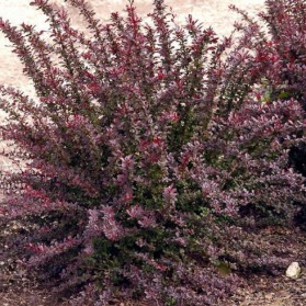Berberis thunbergii Red Chief (dřišťál thunbergův)