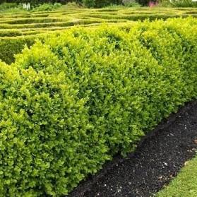 Buxus sempervirens (zimostráz obecný)